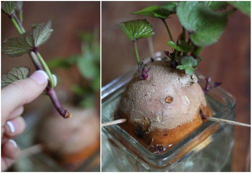 aardappel-groeit-door