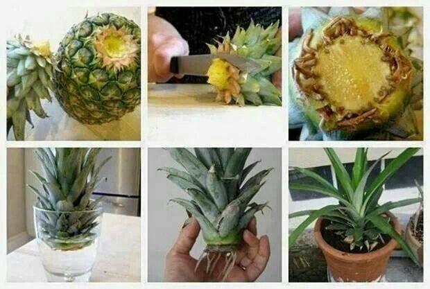 ananas-groeit-door